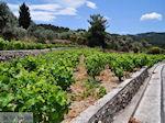 Wijngaarden langs de weg van Marathokampos naar Karlovassi - Eiland Samos